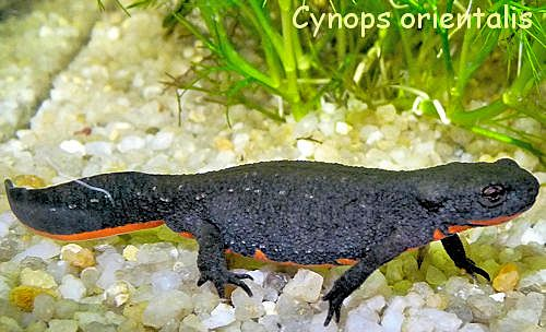 Cynops adulte